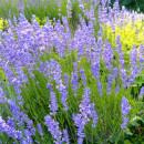 Das Parfüm des Südens: Rose, Rosmarin & Lavendel